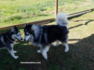 Grey and white long haired Siberian husky
