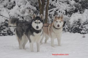 a black and white and red and white huskies in the snow