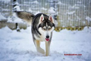 Siberian husky grey and white