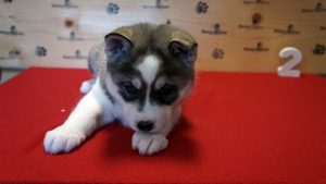 grey black and white husky puppy