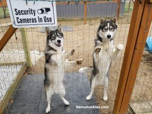grey and white huskies for sale
