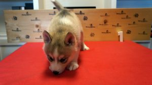 grey husky puppy for sale