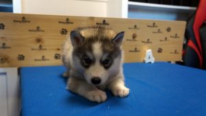 grey husky puppy