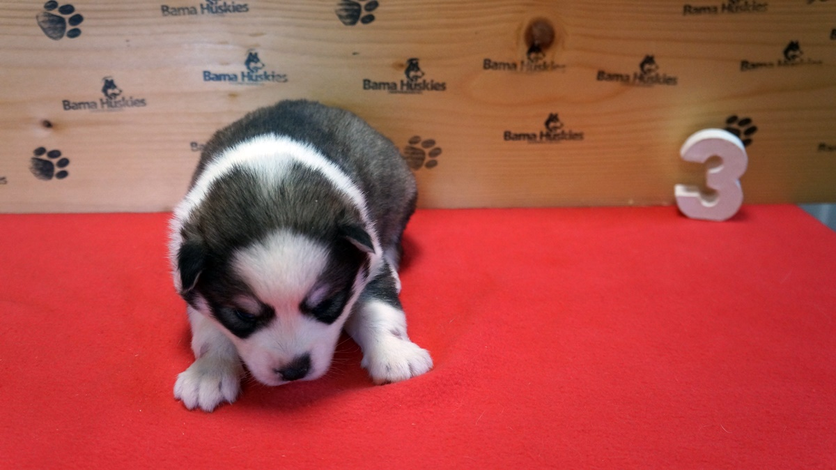 Piglets Puppies 3 Weeks Old  Siberian Husky Puppies For Sale-1217