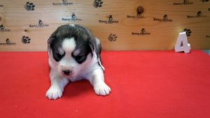 grey husky puppy