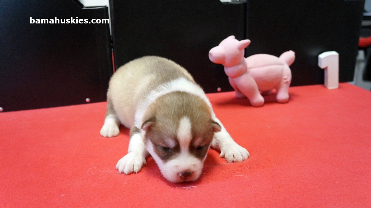 Piglets Puppies 2 Weeks Old  Siberian Husky Puppies For Sale-2684
