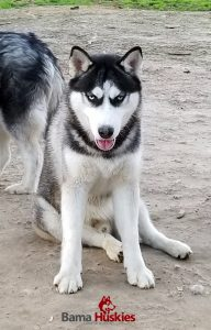 Black and white male Siberian husky