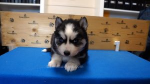 black and white male husky puppy