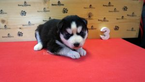 black and white female husky puppy
