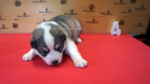 Grey and white female husky puppy