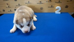 red husky puppy for sale