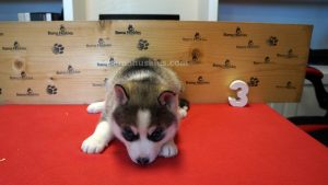 Grey and white female husky puppy