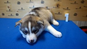 Grey husky male puppy for sale