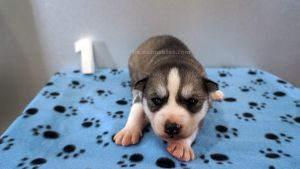 grey and white male husky puppy