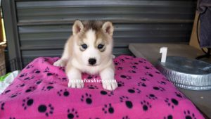 Grey and white husky puppies for sale from bamahuskies.com