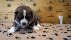 red and white husky puppy for sale