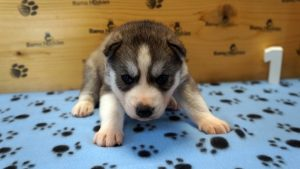 grey and white husky puppy for sale