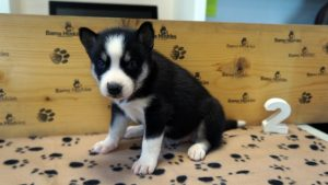 black and white female husky puppy for sale