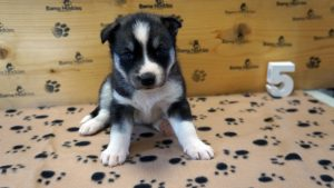 grey and white female husky puppy for sale