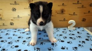 black and white male husky puppy for sale alabama