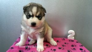 Grey and white husky puppy