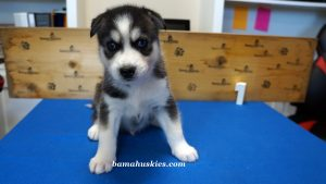 Black and white husky puppy for sale