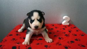 black and white husky puppies for sale Alabama