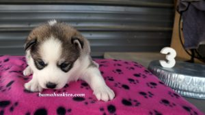 Grey and white female husky puppies for sale