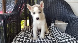 grey and white male husky puppy for sale