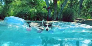 husky puppy floating in swimming pool