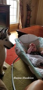 Siberian husky watching over a baby