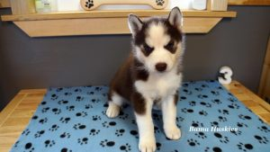 red and white husky puppy
