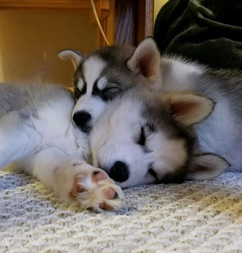 No More Potty Oops House Training Tips Siberian Husky Puppies For