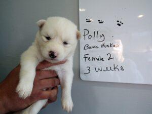white siberian husky for sale