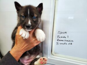 Agouti husky puppies for sale
