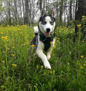 Did you know these 5 fun facts about your husky?